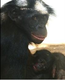 Naissance Bonobo